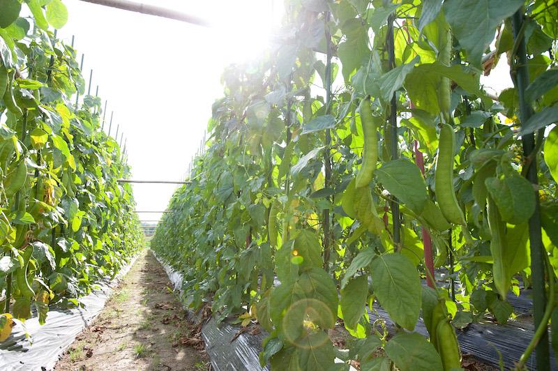 なた豆の育て方、栽培方法について紹介します。